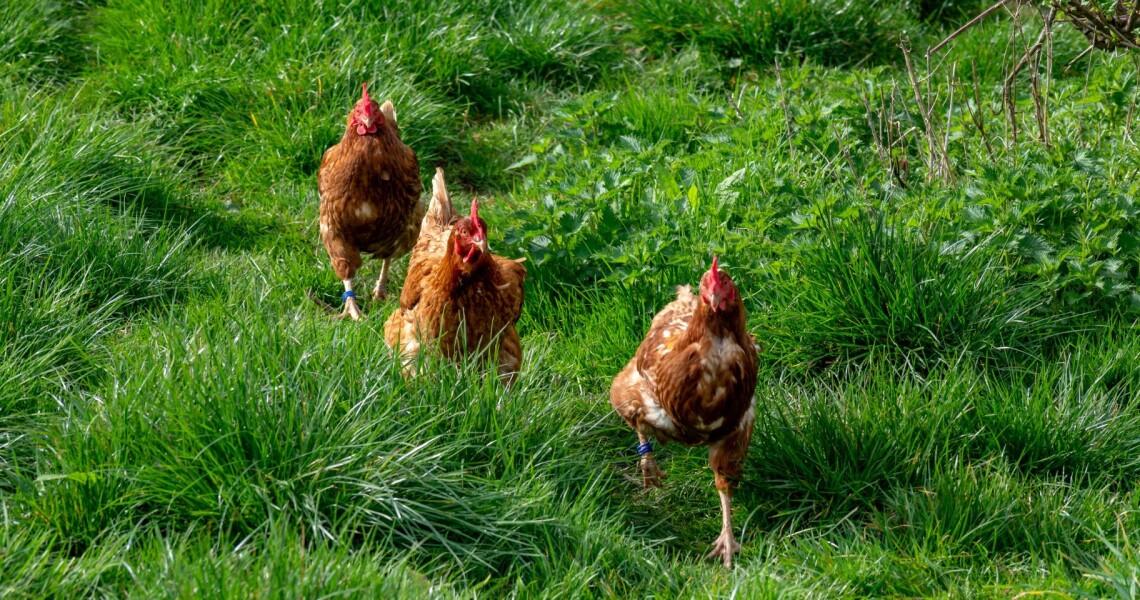 Brug rester af grus til høns